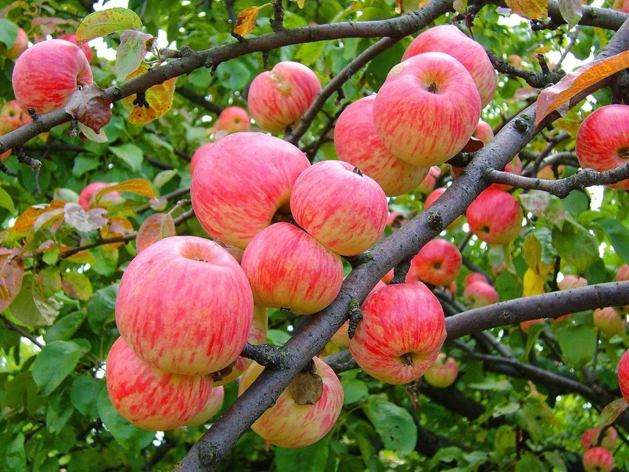 Яблоки Мельба картинки 5